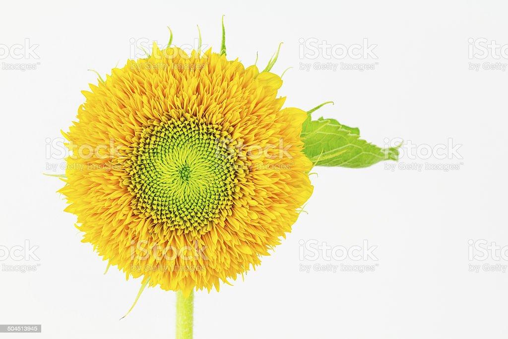 dwarf sungold Sunflower close-up stock photo