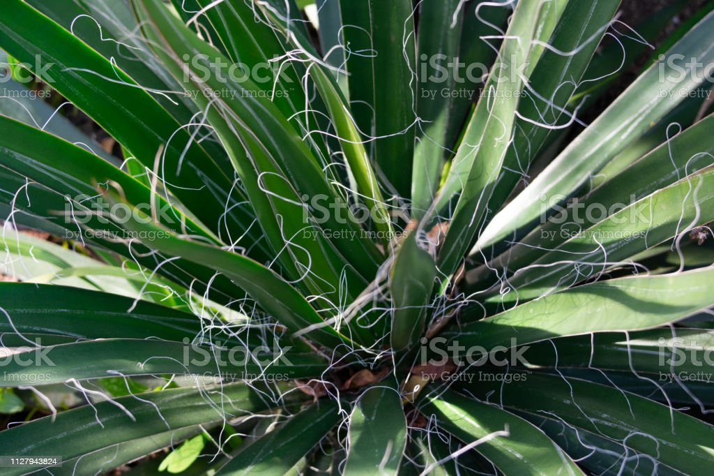Dwarf Threaded Agave Plant Closeup Image Of Narrow Leaves And