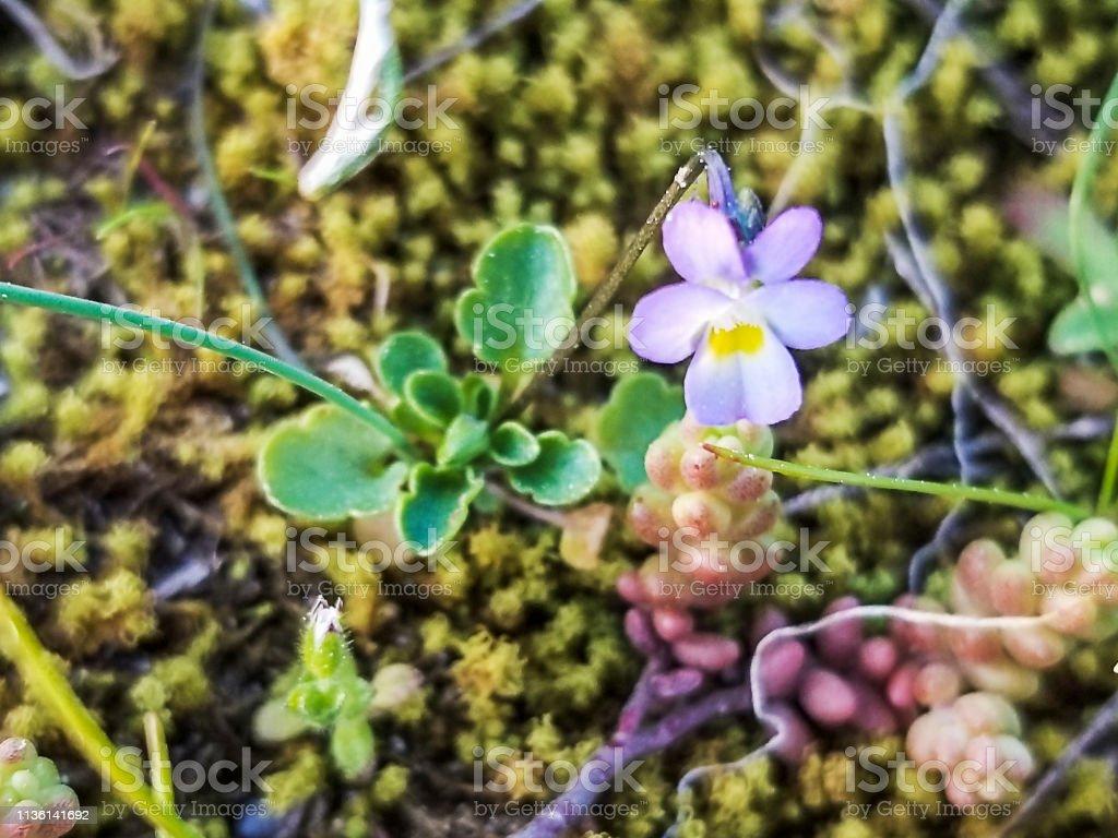 Violeta enano - foto de stock