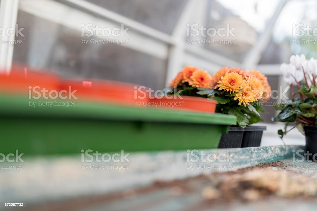 Dwarf yellow and orange chrysanthemum flowers in black plastic plant pots growing in a traditional English potting shed or green house stock photo