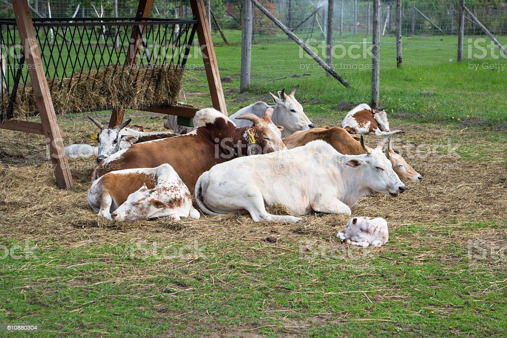 Dwarf Zebu cattle stock photo