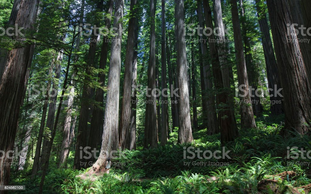 Dwarfed by the giant redwood forest stock photo