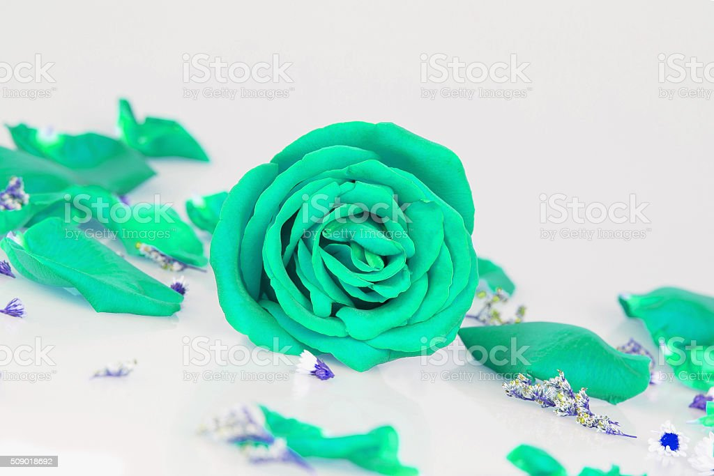 Dye green rose with whth Rose petals stock photo