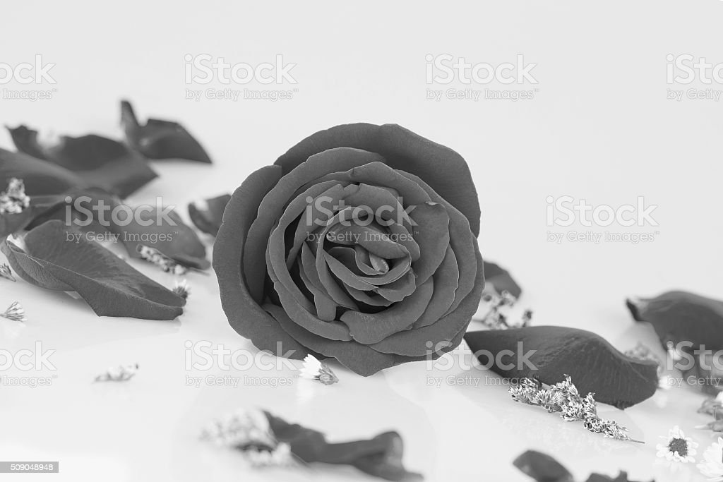 Dye  rose with  Rose petals stock photo