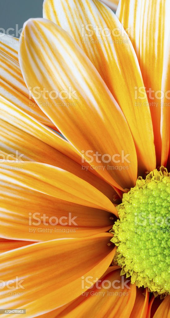 Dyed Daisy Flower White Orange Petals Green Carpels Close up royalty-free stock photo