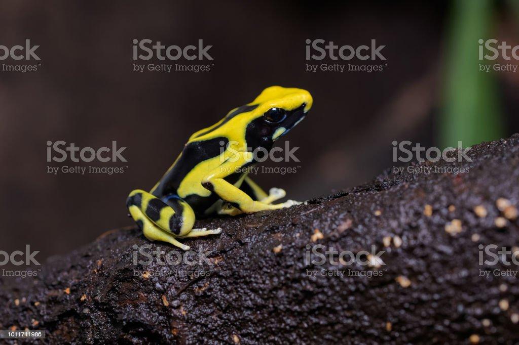 Poison Arrow Frog Klettern auf Bromelien färben – Foto