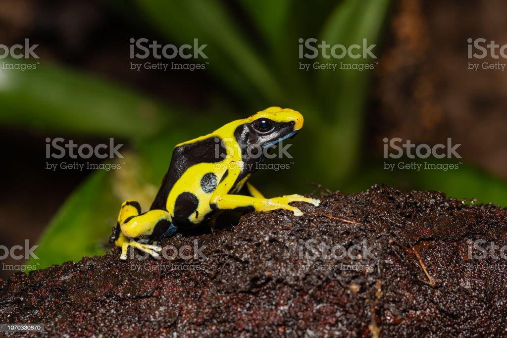 Färben von poison Arrow Frog