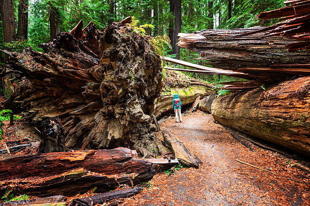 Dyerville Giant, Humboldt Redwoods State Park, CA Woman standing beside the fallen Dyerville Giant at Humboldt Redwoods State Park in Northern California, USA. redwood tree stock pictures, royalty-free photos & images