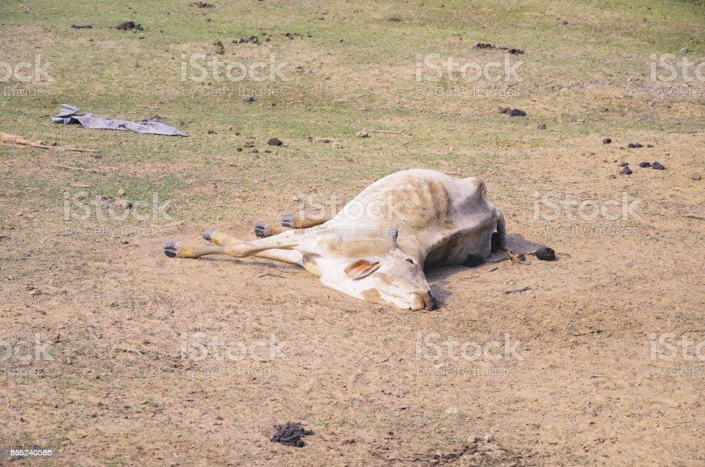Vaca morrer por alguma doença, caído no chão - foto de acervo