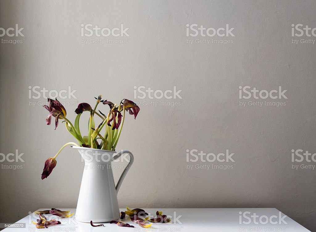 Dying dark red tulips in white jug on white table stock photo