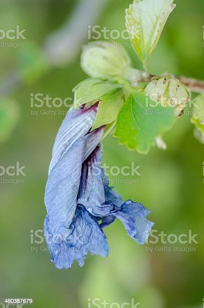 Dying flower picture id460387679?b=1&k=6&m=460387679&s=612x612&h=gmshpzesyn85qh15gs9tjaynxgyq ceubwzxdoxi2xk=