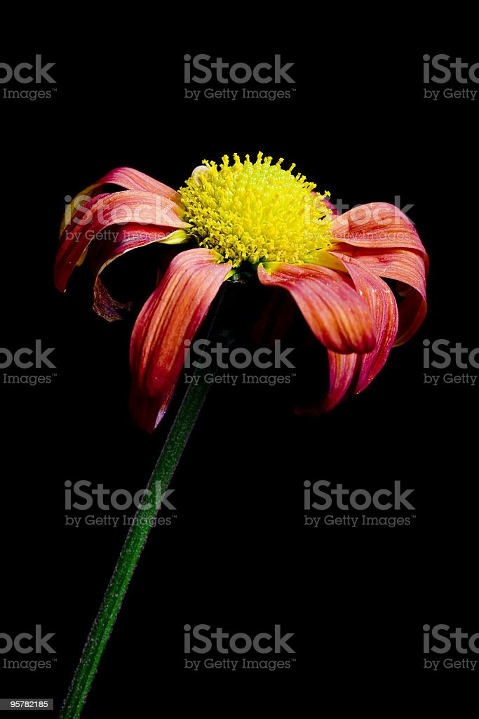 dying flower royalty-free stock photo