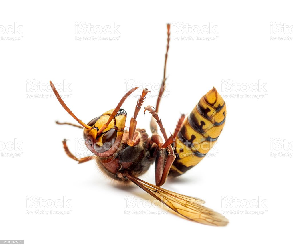 Dying Hornet on its back, isolated on white stock photo