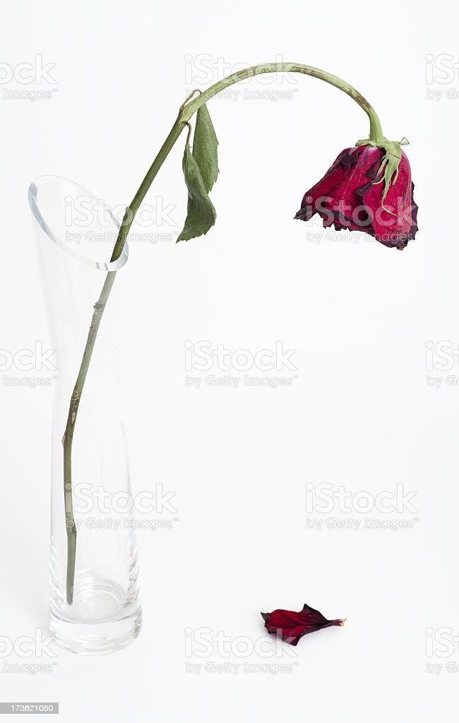 Dying Rose Fallen Petal Stock Photo Download Image Now Istock