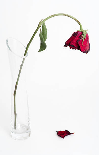 Dying rose, fallen petal stock photo