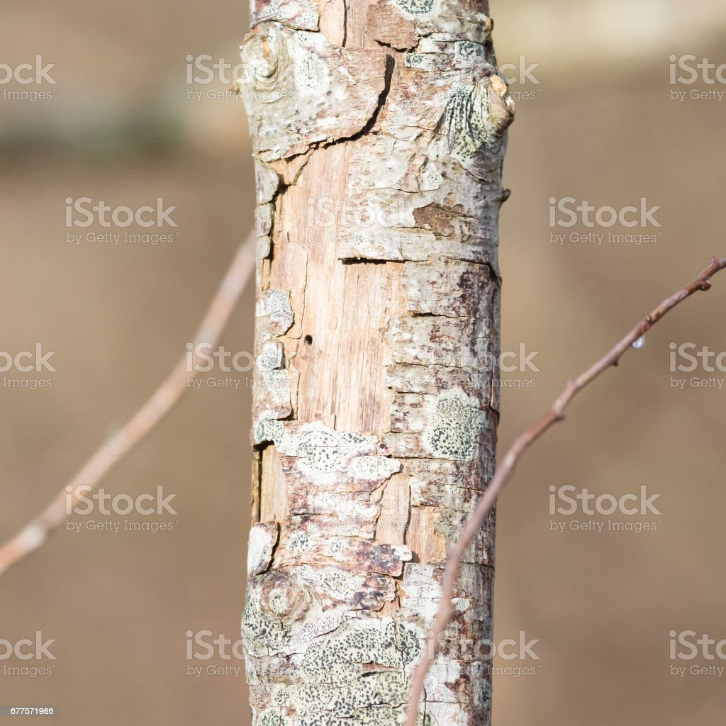 Dying tree in nature royalty-free stock photo