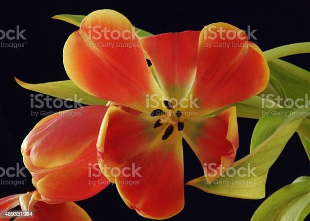 Dying tulip picture id469331964?b=1&k=6&m=469331964&s=612x612&h= u4oz lzzz5lbckmtbo37g30s2y782yf4ikja pn4am=