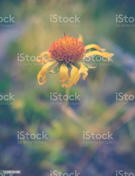 Dying yellow daisy flower picture id1049035480?b=1&k=6&m=1049035480&s=612x612&h=ec8x9tdea mkwkyy9nm6wfwv0fp58lhucn9ewyu3h4c=
