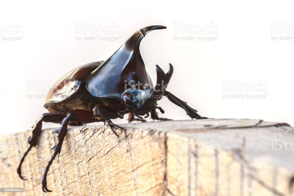 Dynastinae on wooden timber. stock photo