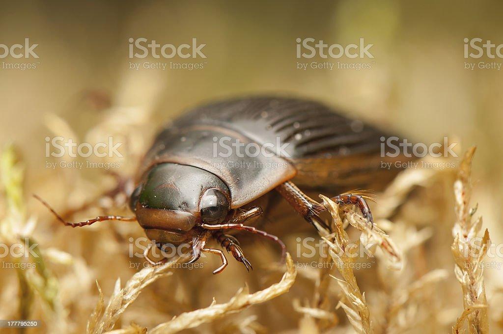 Dytiscus marginalis royalty-free stock photo