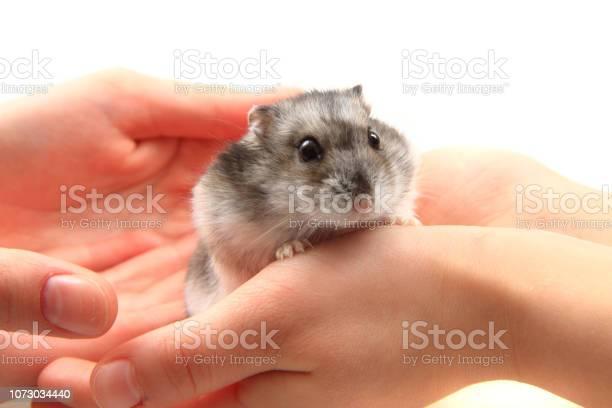 Dzungarian hamster in human hands picture id1073034440?b=1&k=6&m=1073034440&s=612x612&h=udhrr1avkrfpjaladcdjmi8jtyaiov0jjw38pxxa9ks=