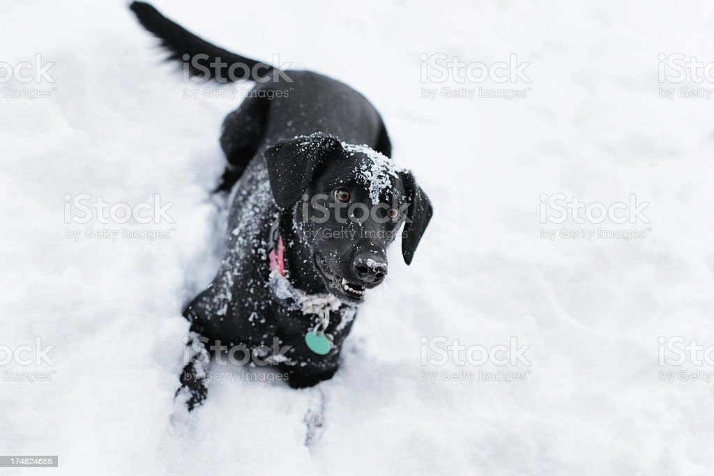 Eager Black Dog in Snow stock photo