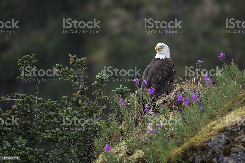 Eagle and Flowers royalty-free stock photo