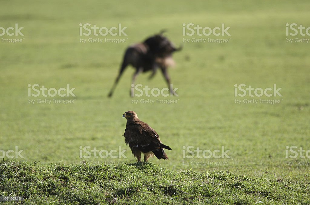 Eagle and Wildebeest royalty-free stock photo