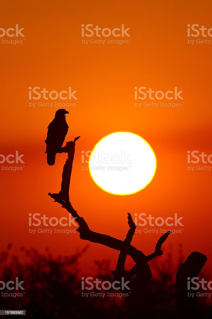 Eagle at Sunset royalty-free stock photo