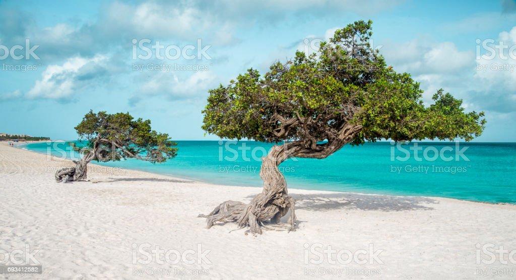 Eagle beach with divi divi trees on Aruba island – zdjęcie