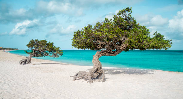 Royalty free divi divi tree pictures images and stock photos istock - Dive e divi ...