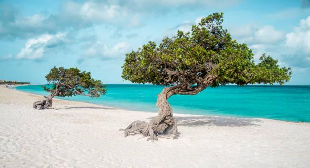 eagle beach met divi divi bomen op aruba island - aruba stockfoto's en -beelden