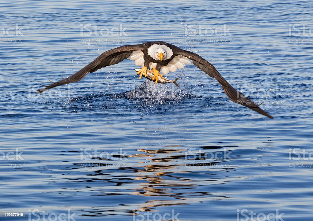 Eagle Catching fish stock photo