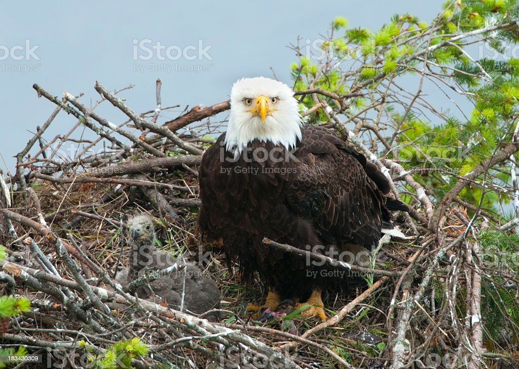 Eagle & Chick in nest stock photo
