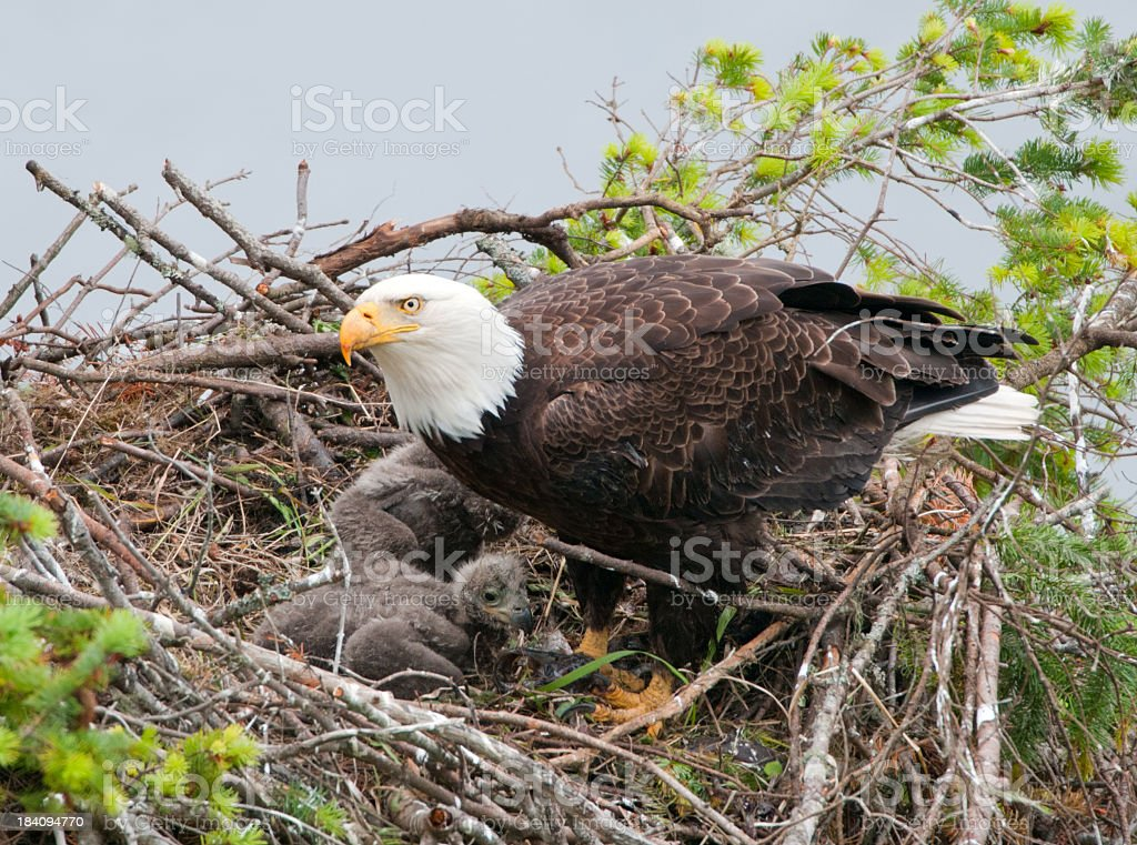 Eagle & Chicks in nest stock photo