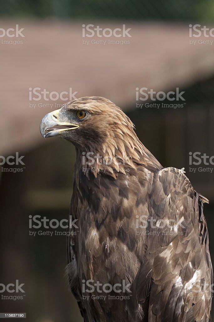 Eagle Closeup royalty-free stock photo