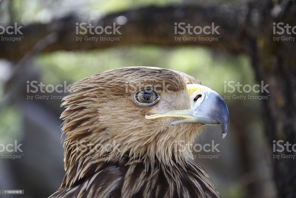 eagle close-up portrait (series) royalty-free stock photo