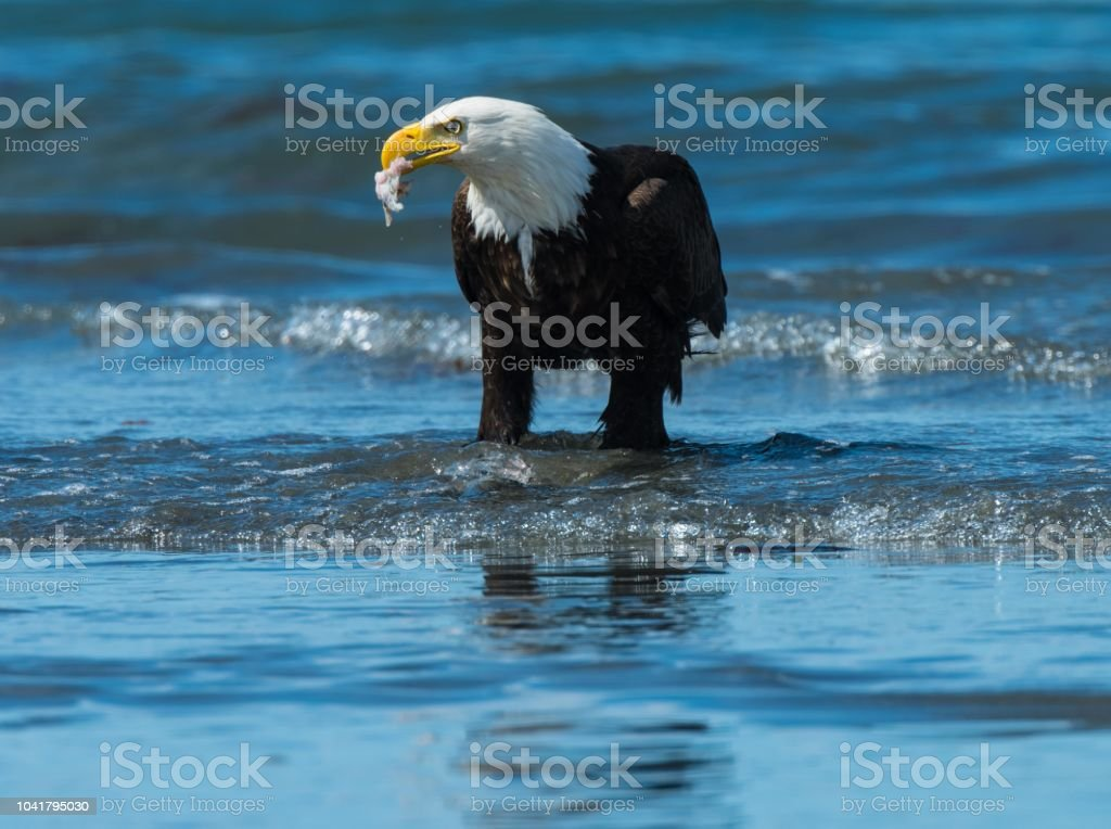 Eagle Eating On The Shore Of Anchor Point Alaska Stock Photo Download Image Now Istock
