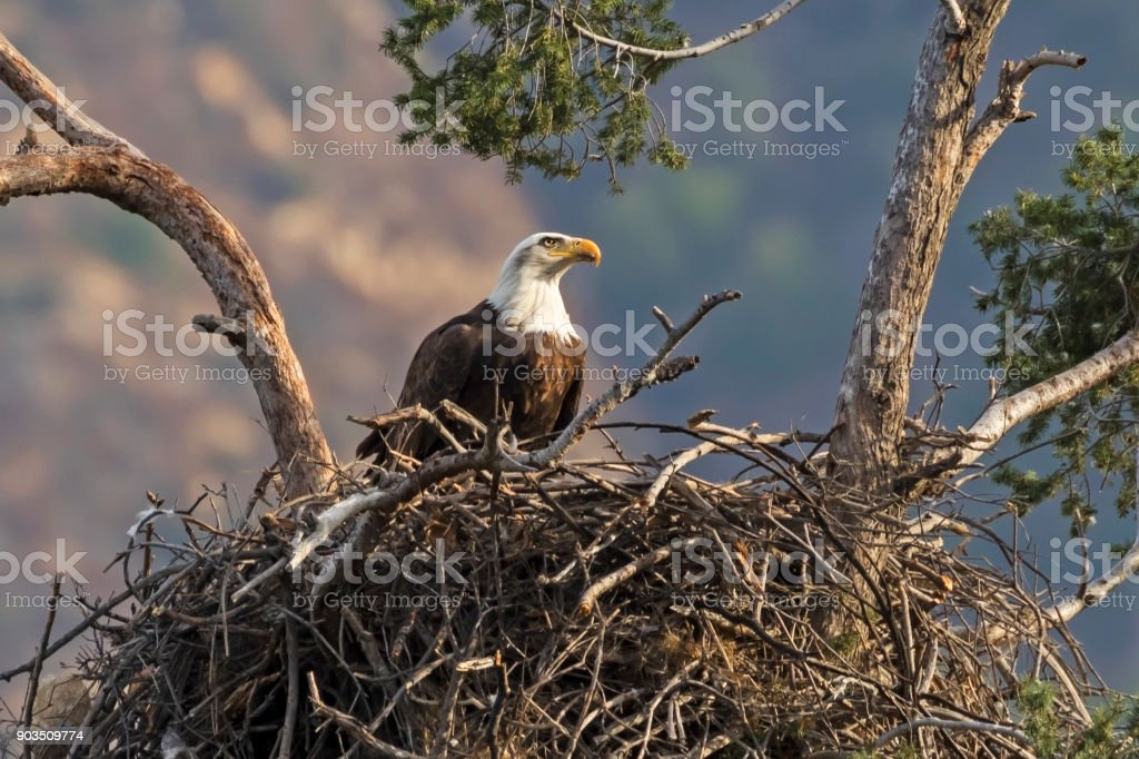 Eagle enjoying an afternoon snack at tree nest