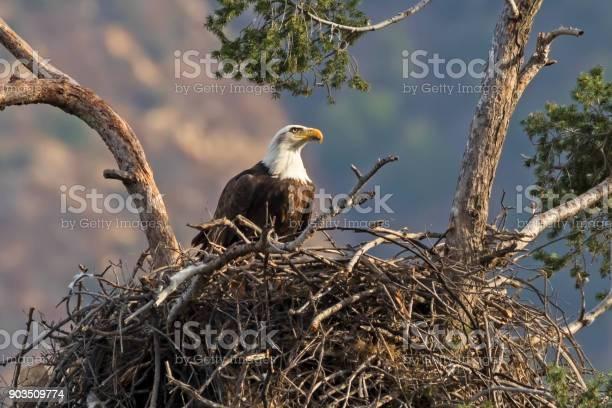 Eagle enjoying an afternoon snack at tree nest picture id903509774?b=1&k=6&m=903509774&s=612x612&h=iufr8 wpqlzy4 rdb2nvrcs2nvlg1nasggdt5q3onze=