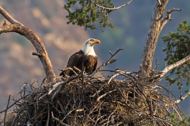 Eagle enjoying an afternoon snack at tree nest stock photo