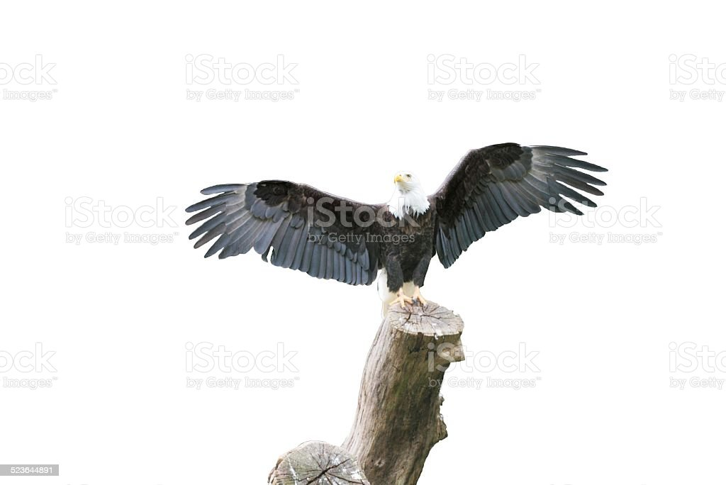 Adler Freigestellt stock photo