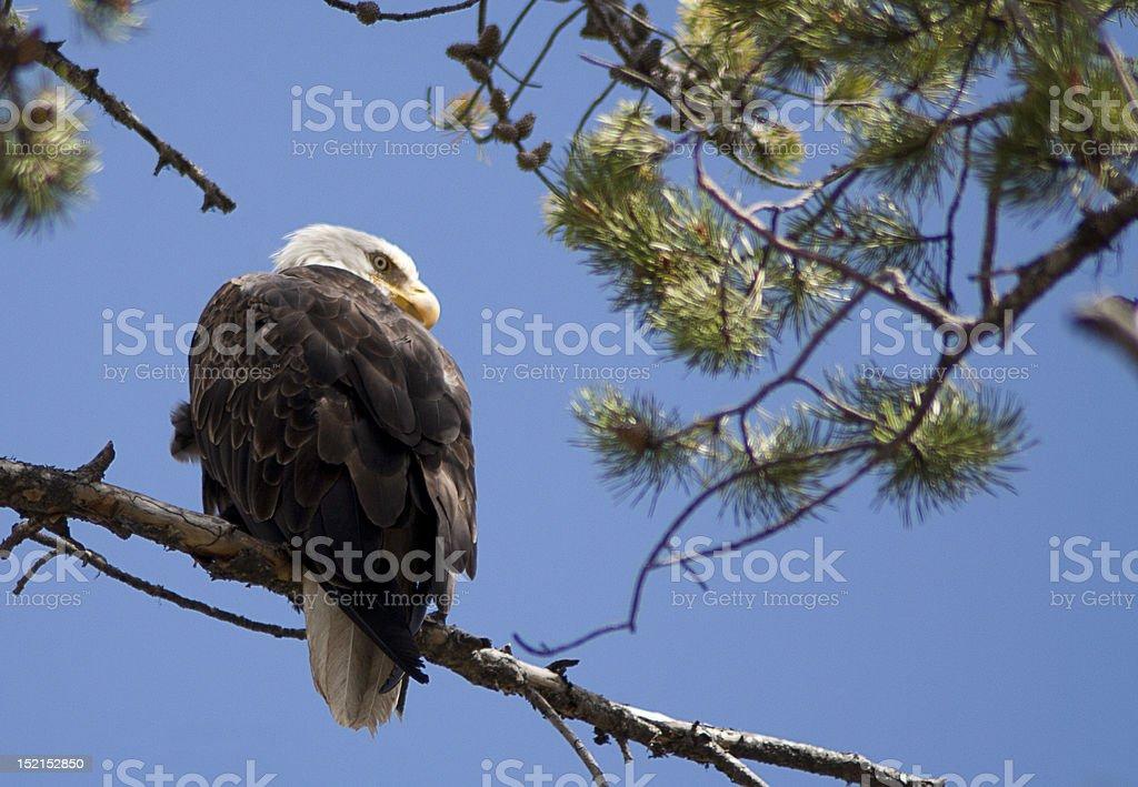 Eagle eye 02 stock photo
