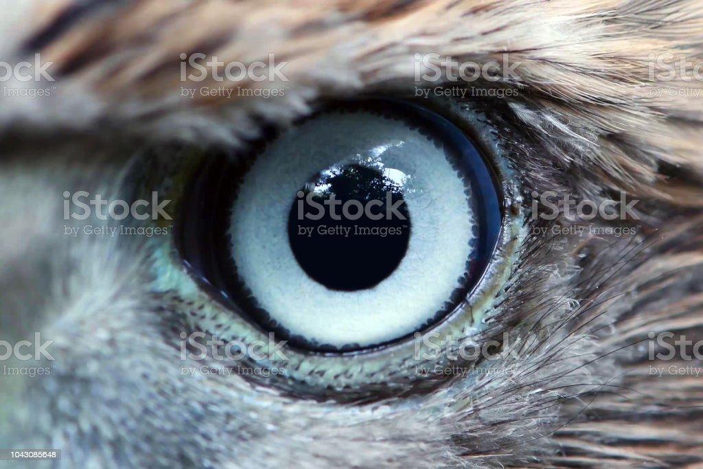 Eagle Eye Close Up Macro Eye Of Young Goshawk Accipiter Gentilis