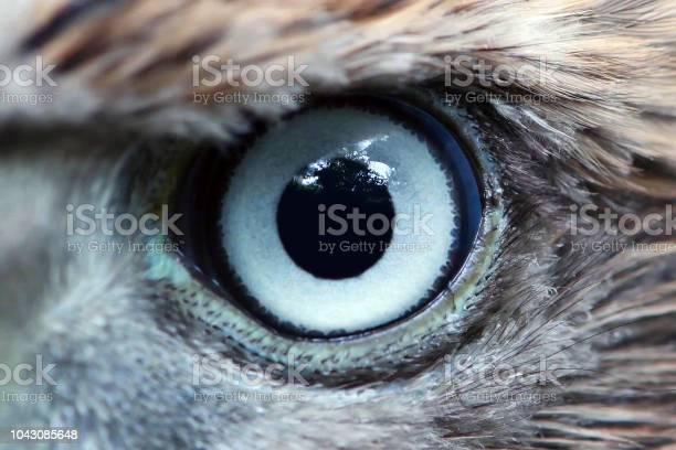 Eagle eye closeup macro eye of young goshawk picture id1043085648?b=1&k=6&m=1043085648&s=612x612&h=hjan smbasbpsc6jjakceydnsuz4ol6iijigs smx2q=