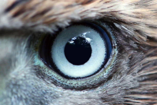 Eagle eye close-up, macro, eye of young Goshawk (Accipiter gentilis) stock photo