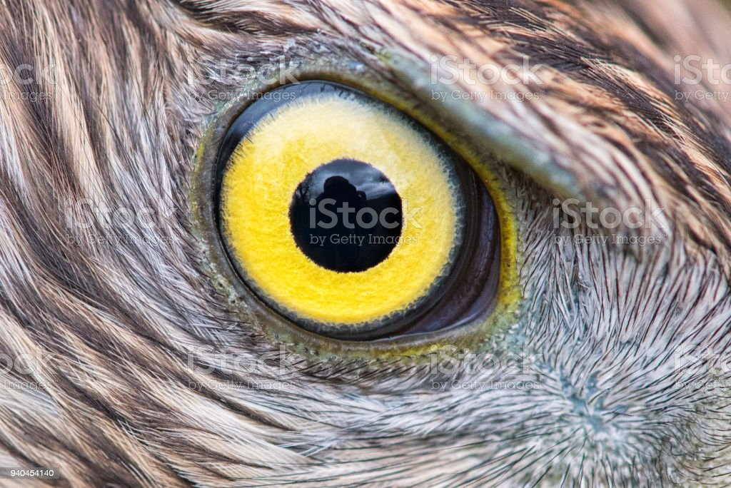 Eagle Eye Close Up Macro Photo Eye Of The Goshawk Stock Image