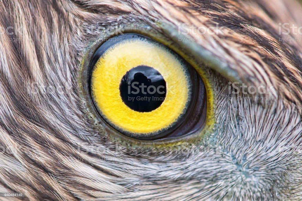 Eagle Eye Closeup Macro Photo Eye Of The Goshawk Stock Photo More