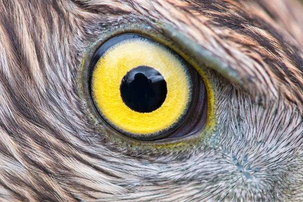 eagle eye close-up, macro photo, eye of the Goshawk stock photo