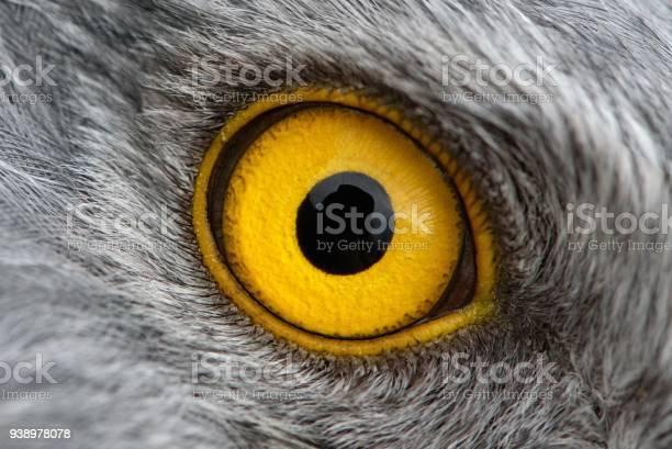 Eagle eye closeup macro photo eye of the male northern harrier picture id938978078?b=1&k=6&m=938978078&s=612x612&h=g0thywm9jhsgzafnkqs7mr9fylswrrg xor wxcmwlm=